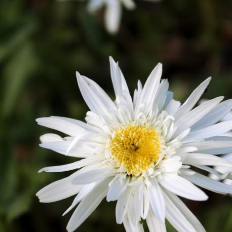 Leucanthemum superbum x 'Christine Hageman'