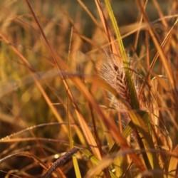 Pennisetum alopecuroides 'National Arboretum'
